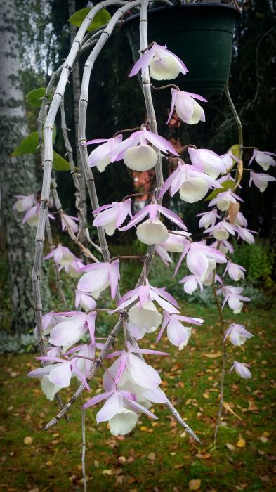 Dendrobium-aphyllum.30.jpg