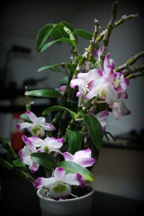 Dendrobium-nobile-hybr.JPG