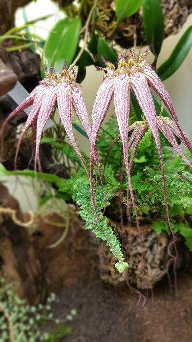 Bulbophyllum-Elizabeth-Ann-Buckleberry.40.jpg