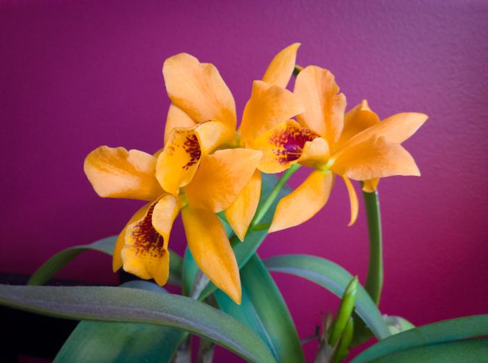 Cattleya-Lc-Gold-Digger-Mandarin-2.jpg