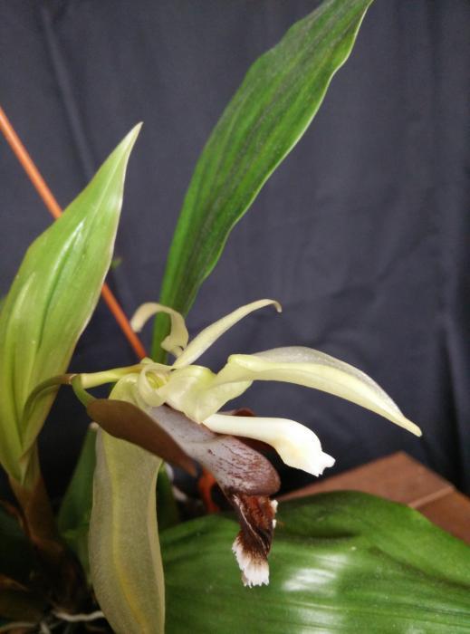 coelogyne_orchideengarten_joachim_IMG_20150304_142148.jpg