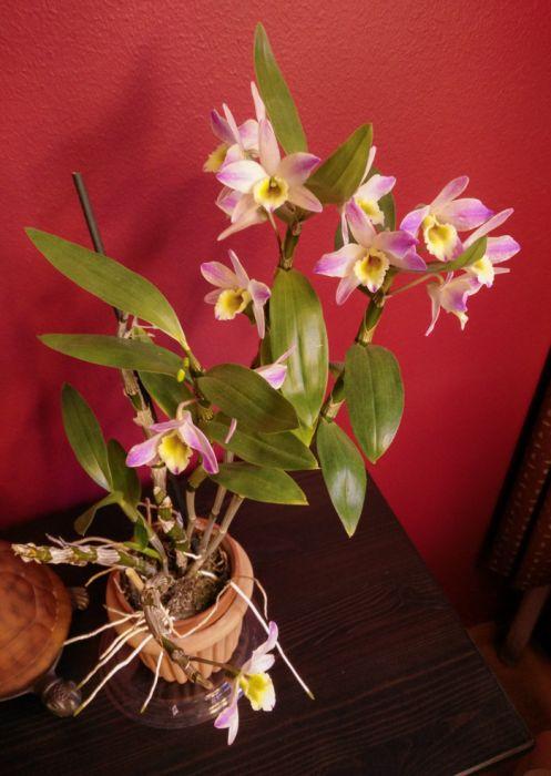 Dendrobium-Meinen-Hebammen-1.jpg