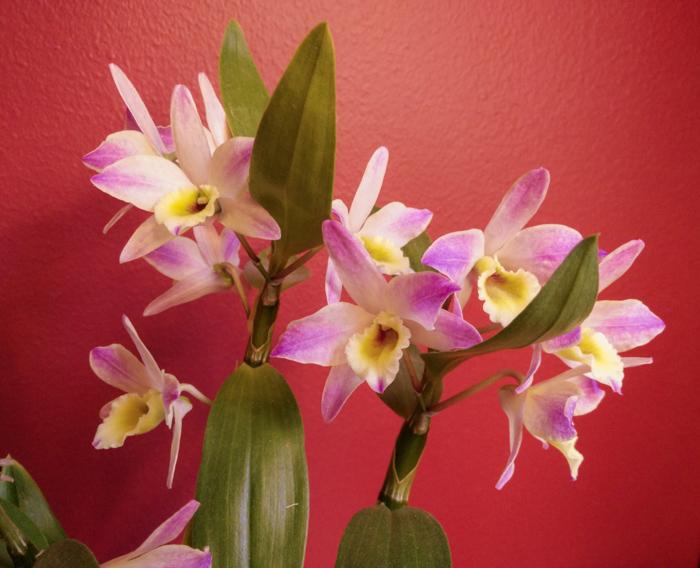 Dendrobium-Meinen-Hebammen-2.jpg