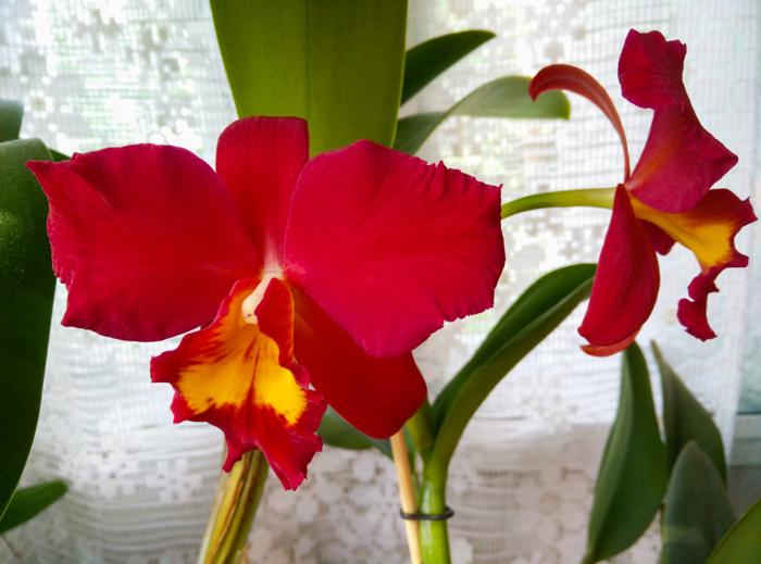 Cattleya-Wendys-Valentine-June-1.jpg