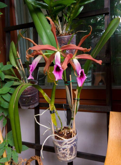 Cattleya-tenebrosa-1-1.jpg