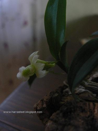 blogi-dendr-oligophyllum-.JPG