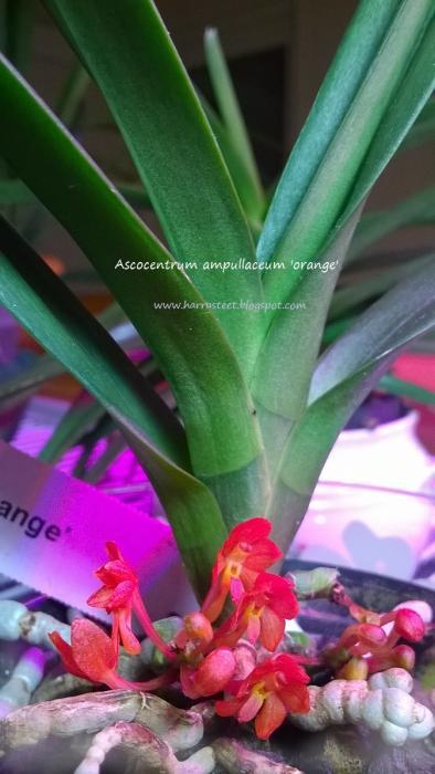 ascocentrum-ampullaceum-orange.jpg