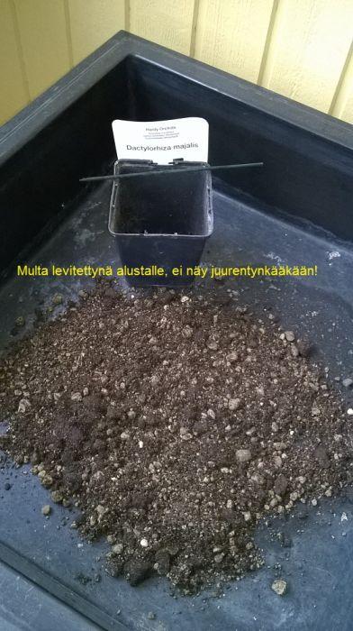 Dactylorhiza-majalis-9-€-2.-1.jpg