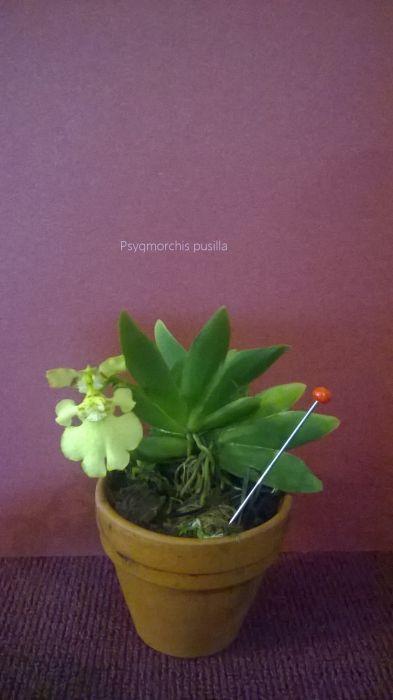 ss-psygmorchis-pusilla.jpg