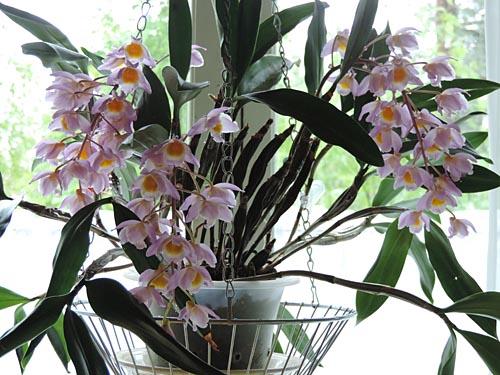 Dendrobium-farmeri3.jpg