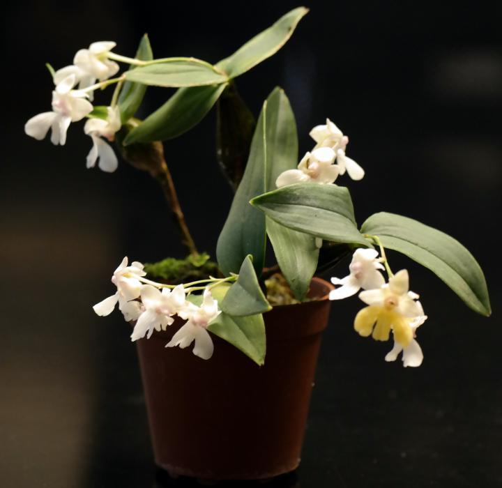 Dendrobium-aberrans-1.JPG