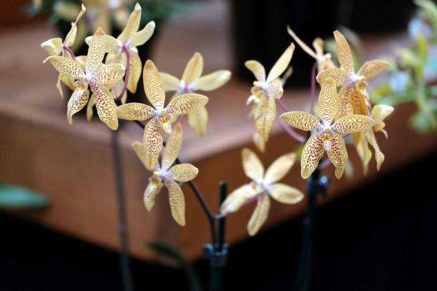 Renanthopsis-Mildred-Jameson-Bonsall.JPG