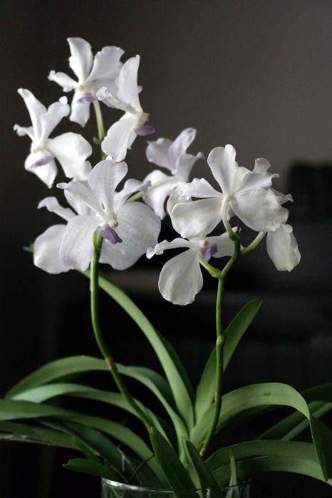 Vanda-Kanchana-Lavender-Mist.JPG