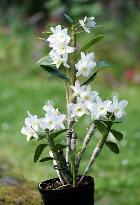 Dendrobium-Angel-Baby-Love-Pocket.JPG