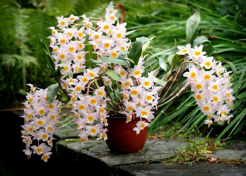 Dendrobium-farmeri-Pink-1.JPG