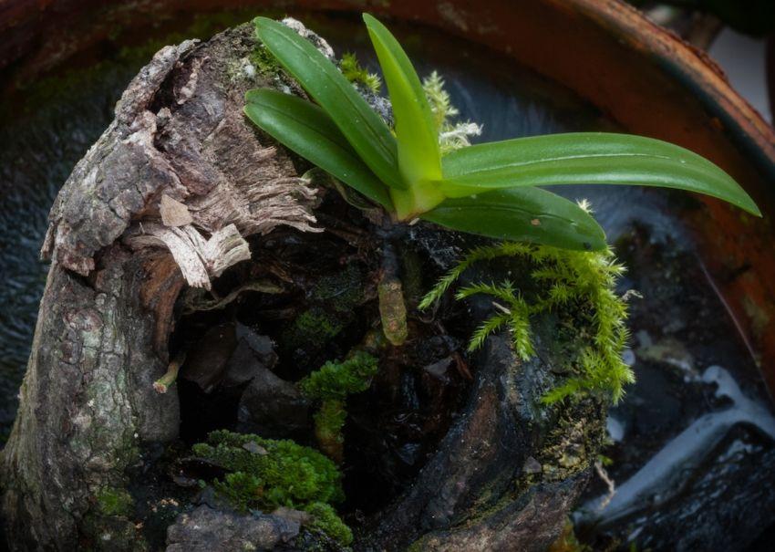 Orkidea-juuret-1-of-1.JPG