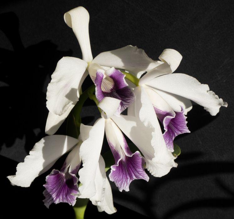 purpurata5.jpg