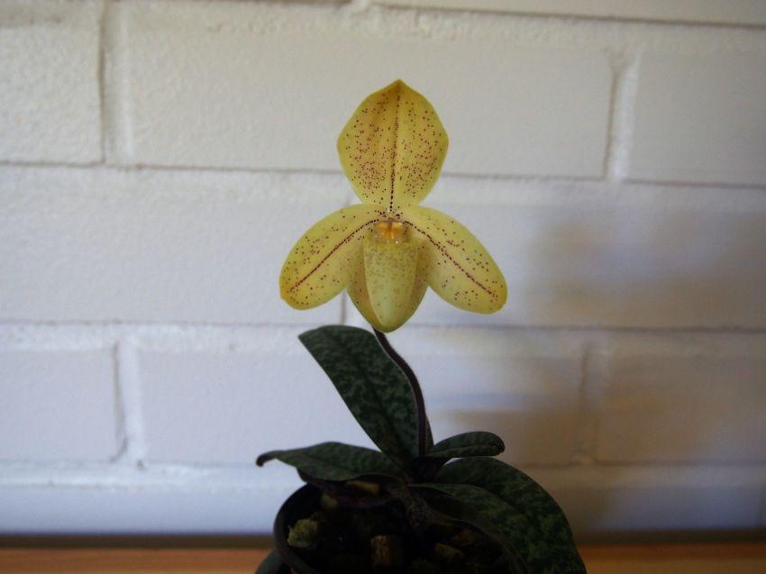 Paphiopedilum-concolor-var.-striatum-P4150598.jpg