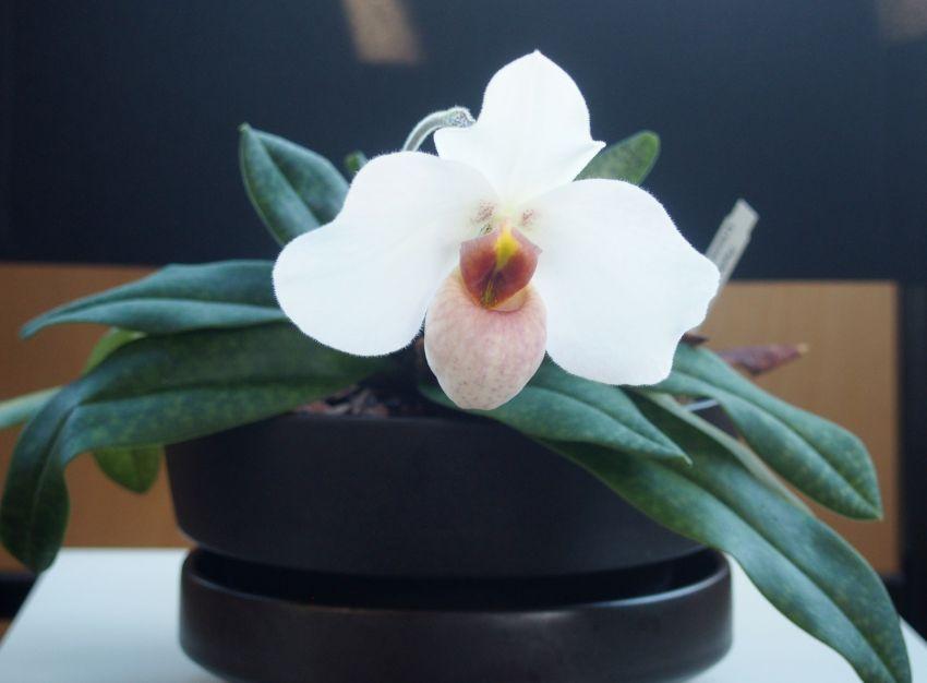 Paphiopepdilum-Armeni-White-x-emersoniiP6290885.jpg