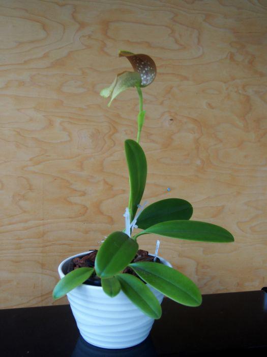 Bulbophyllum-grandiflorum-P8250021.JPG