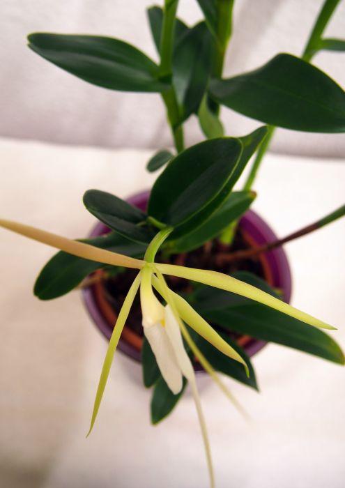 Epidendrum-nocturnum-PA220247-2.JPG