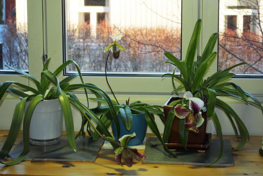 Paphiopedilum-kolme-kukassa-joulukuu.jpg