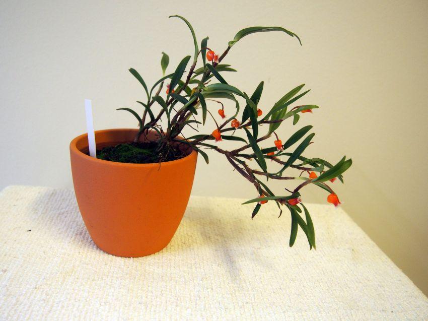 Mediocalcar-bifolium-P2211308.JPG