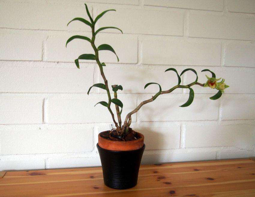 Dendrobium-cruentum-x-sib-P3241258.JPG