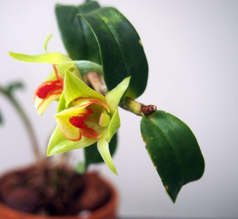 Dendrobium-cruentum-x-sib-P3241264-1.JPG
