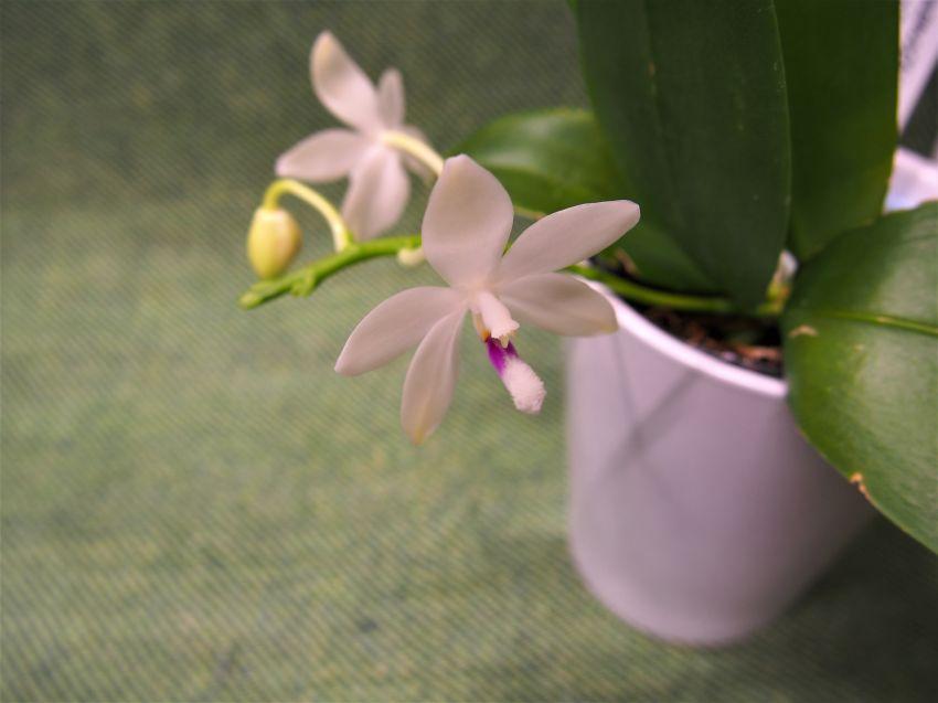 Phalaenopsis-speciosa-P3031364.jpg