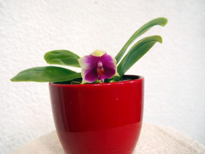 Phalaenopsis-bellina-Miki-P9141790a-1.JPG