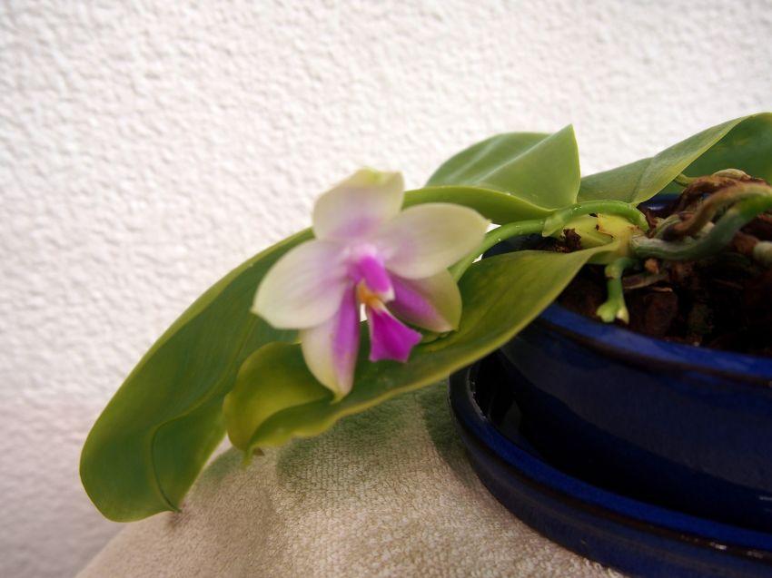 Phalaenopsis-bellina-sib-P9141787a-2.JPG