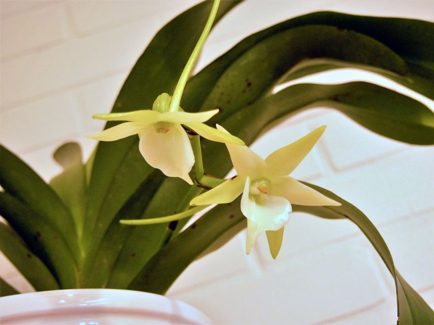 Angraecum-veitchii-PC272155-a.jpg