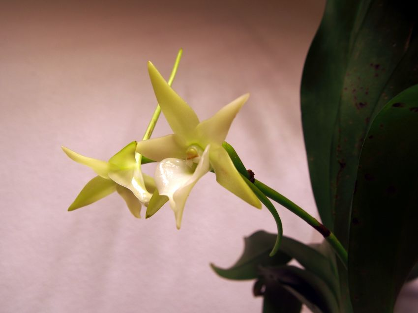 Angraecum-veitchii-PC272174-a-1.JPG