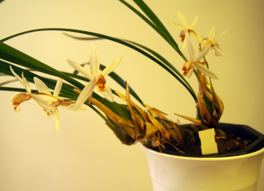 Coelogyne-viscosa-PC312207-1.JPG