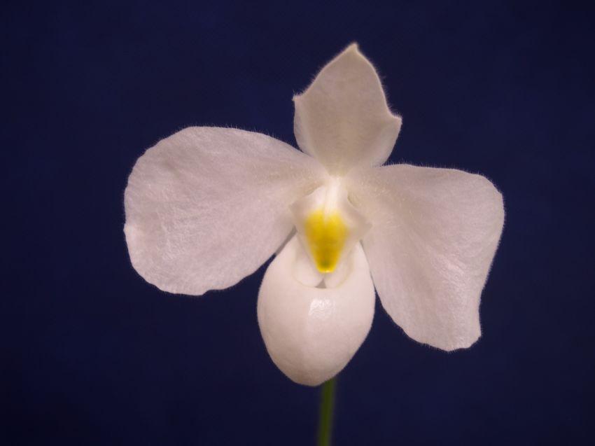 Paphiopedilum-delenatii-alba-P1142342-1.jpg