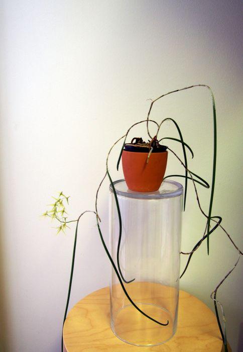 Dendrobium-casuarinae-P3202408.JPG