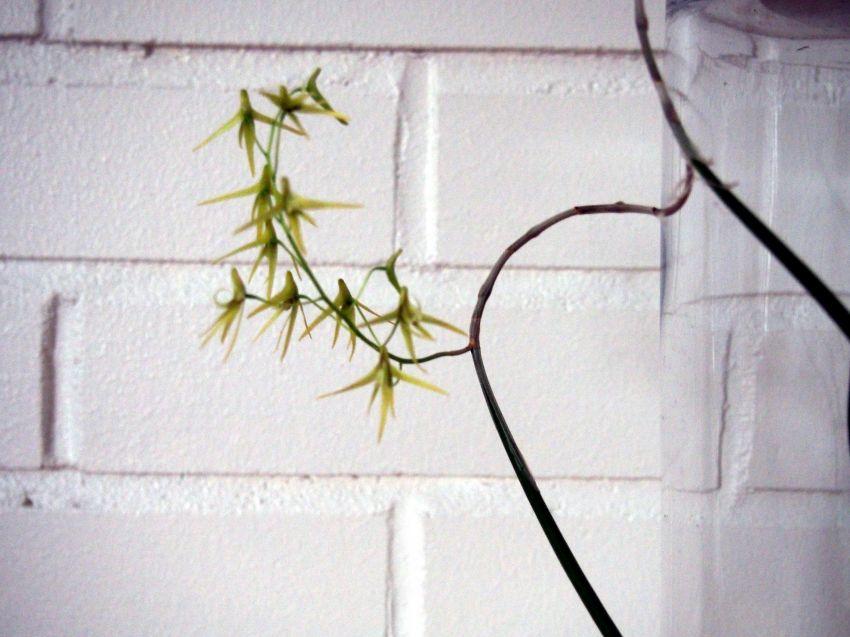 Dendrobium-casuarinae-P3202413.JPG