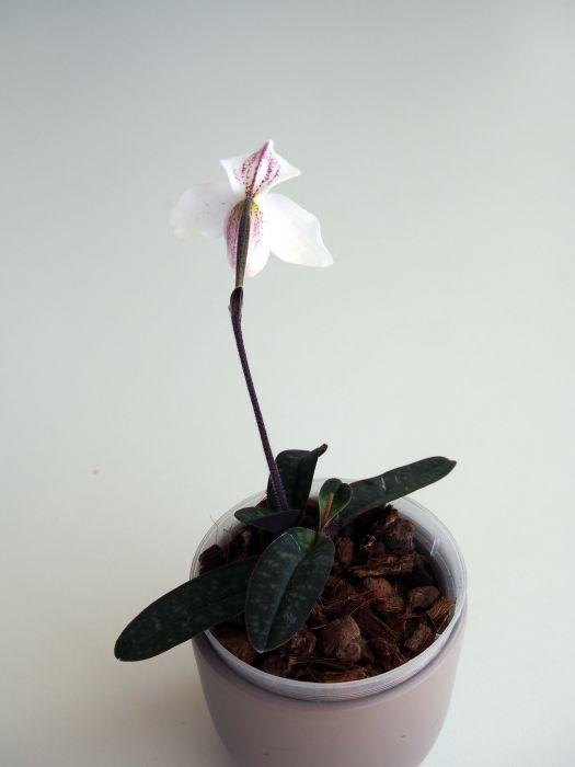 Paphiopedilum-thaianum-P5130462.JPG