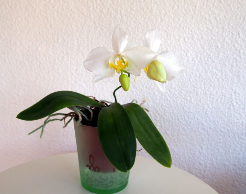 Phalaenopsis-amabilis-var.-aurea-P6140614.JPG