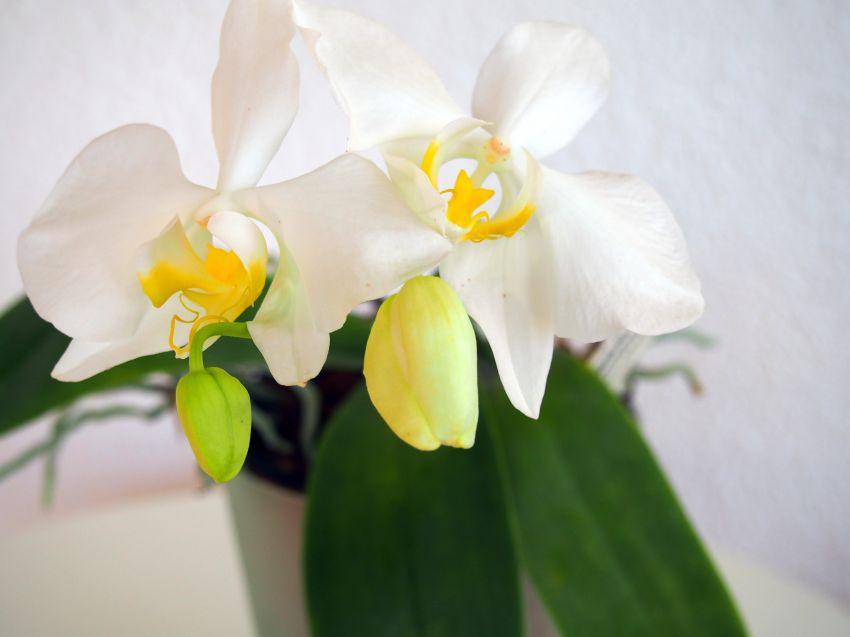 Phalaenopsis-amabilis-var.-aurea-P6140639.JPG