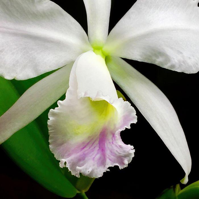 Cattleya-labiata-var-amesiana-Edit.jpg