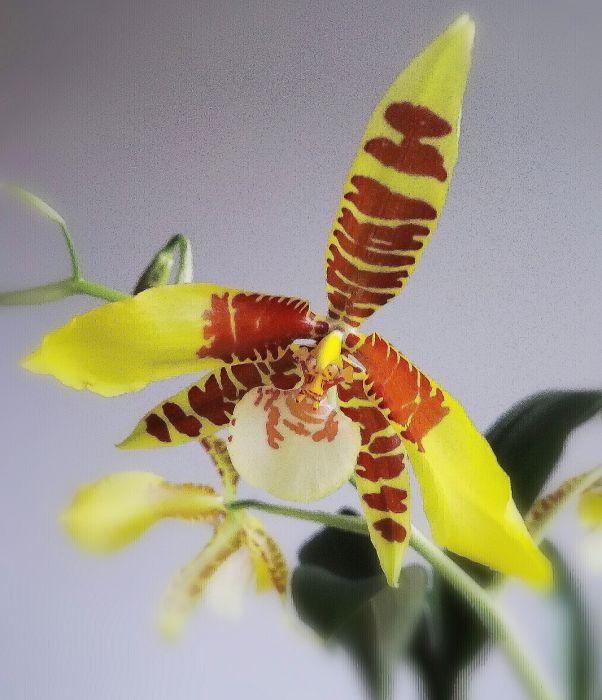Rossioglossum-williamsianum-2-Edit.jpg