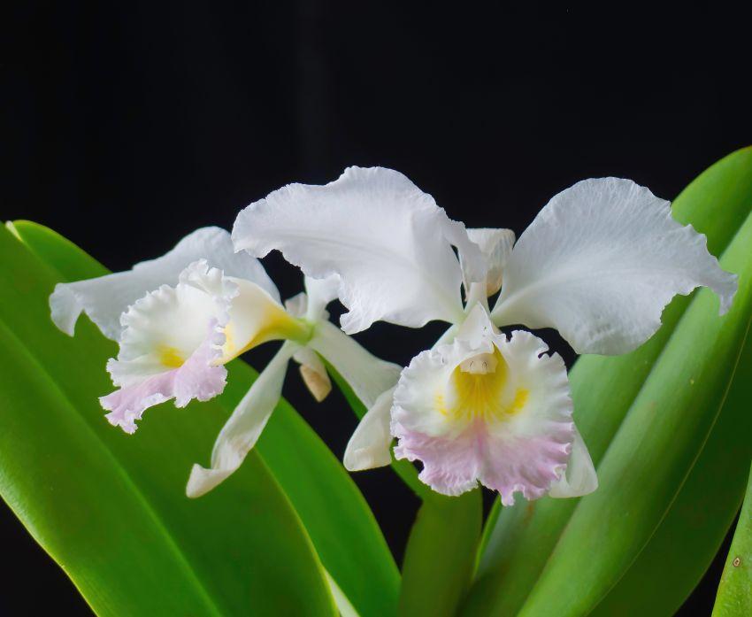 C.-labiata-amesiana-2-1-of-1.jpg