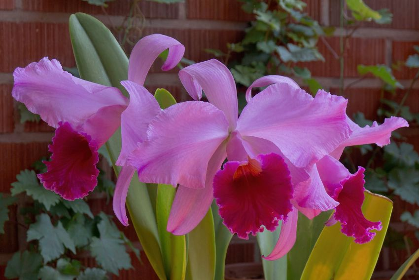 Cattleya-mossiae-Goliath-1-of-1.jpg