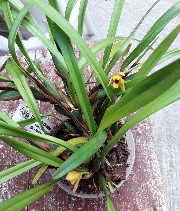 Maxillaria_variabilis_2018-05-12_091907_fb.jpg