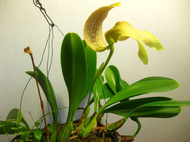 Bulbophyllum_grandiflorum_OP_pien_IMG_7616.jpg
