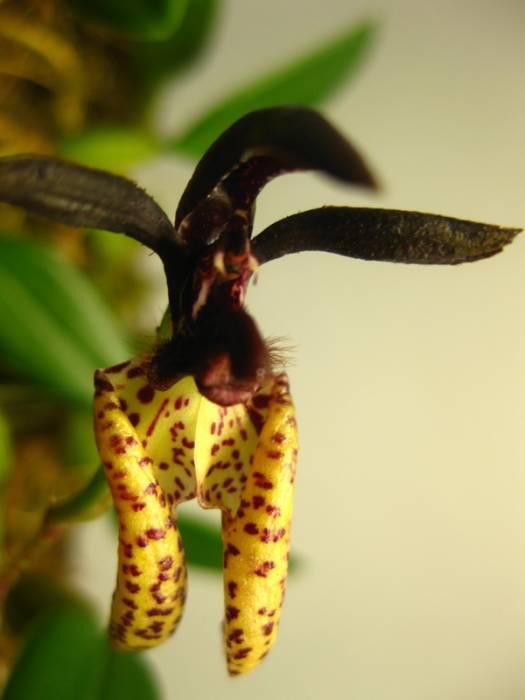 Bulbophyllum_lasiochilum_pien_OP_IMG_7559.jpg