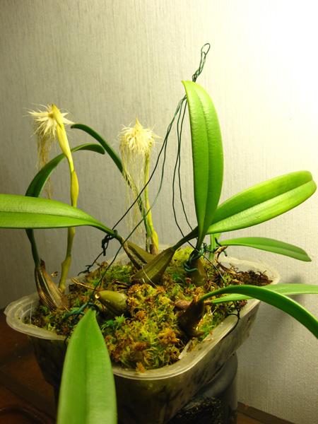 Bulbophyllum_medusae_laakea_pien_IMG_7384-1.jpg