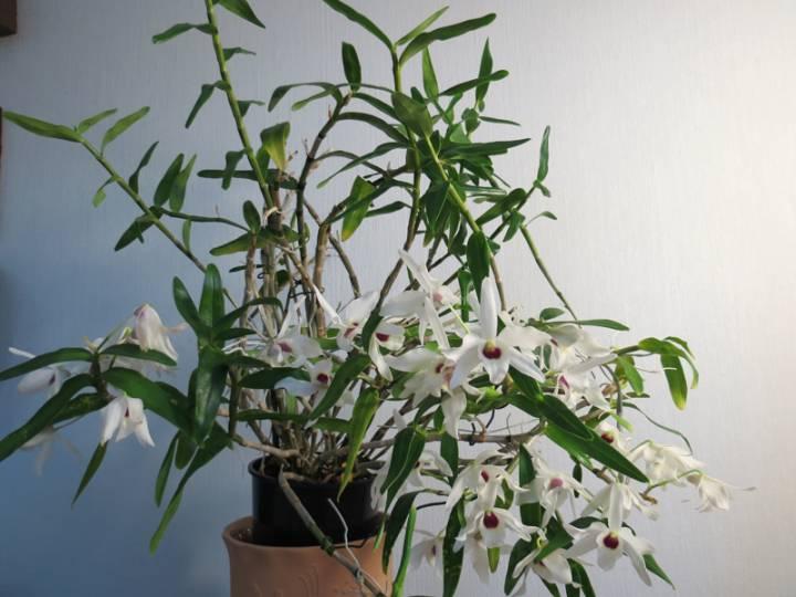 Dendrobium_Cassiope_koko_pien_OP_IMG_9104.jpg